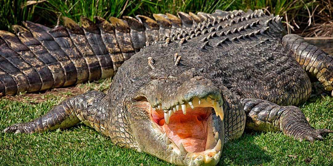 Capturan a un cocodrilo en una  granja avícola de Sinaloa   El Imparcial de Oaxaca