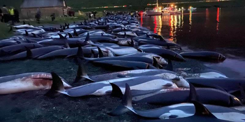 Matan a mil 400 delfines en un día como parte de 'tradición' en islas Feroe | El Imparcial de Oaxaca