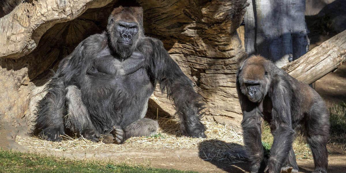 Al menos 18 gorilas del zoológico de Atlanta contrajeron el virus de covid-19   El Imparcial de Oaxaca