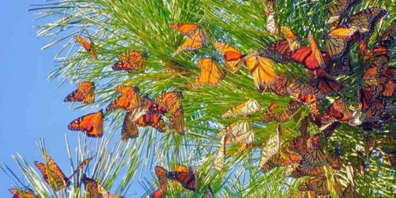Confían abrir santuarios de la Mariposa Monarca en la tercera semana de noviembre | El Imparcial de Oaxaca