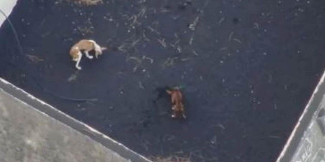 Drones llevan comida y agua a perros aislados por erupción en La Palma | El Imparcial de Oaxaca