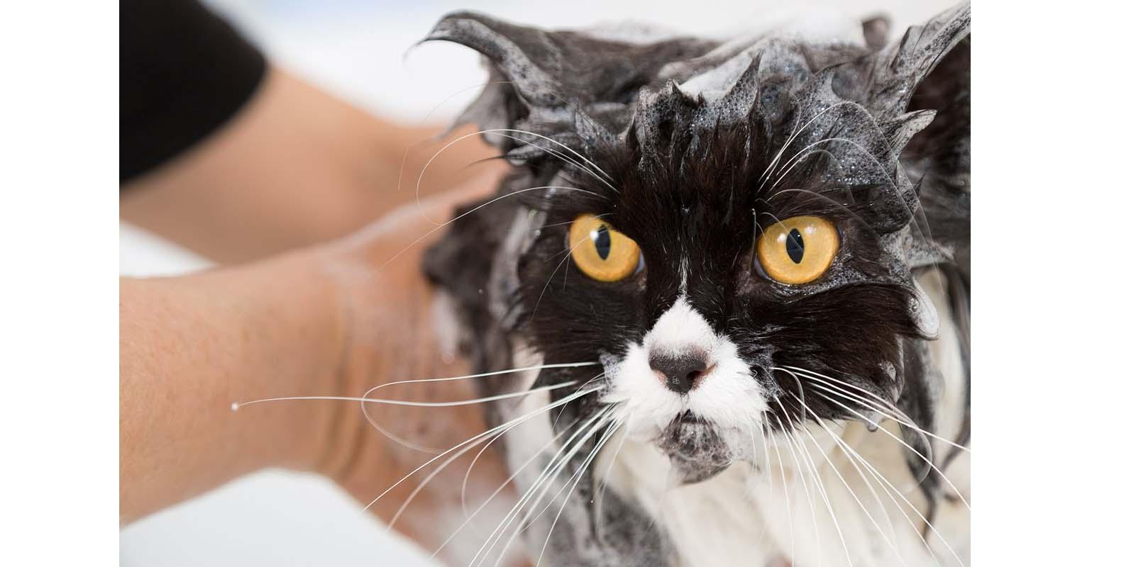 ¿Cada cuánto puedo bañar a mi gato?   El Imparcial de Oaxaca