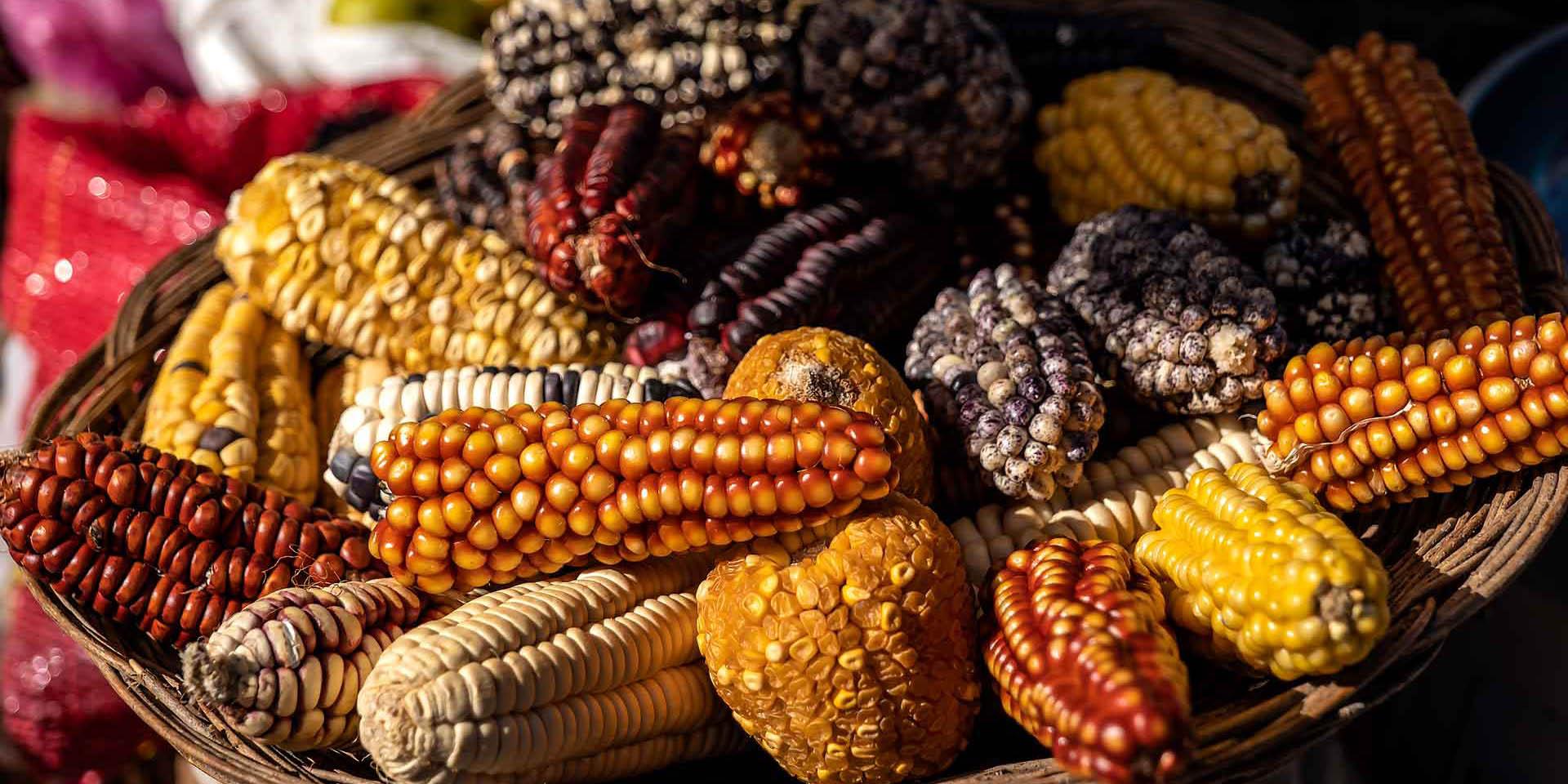 Corte mantiene la suspensión en contra de la siembra de maíz transgénico   El Imparcial de Oaxaca