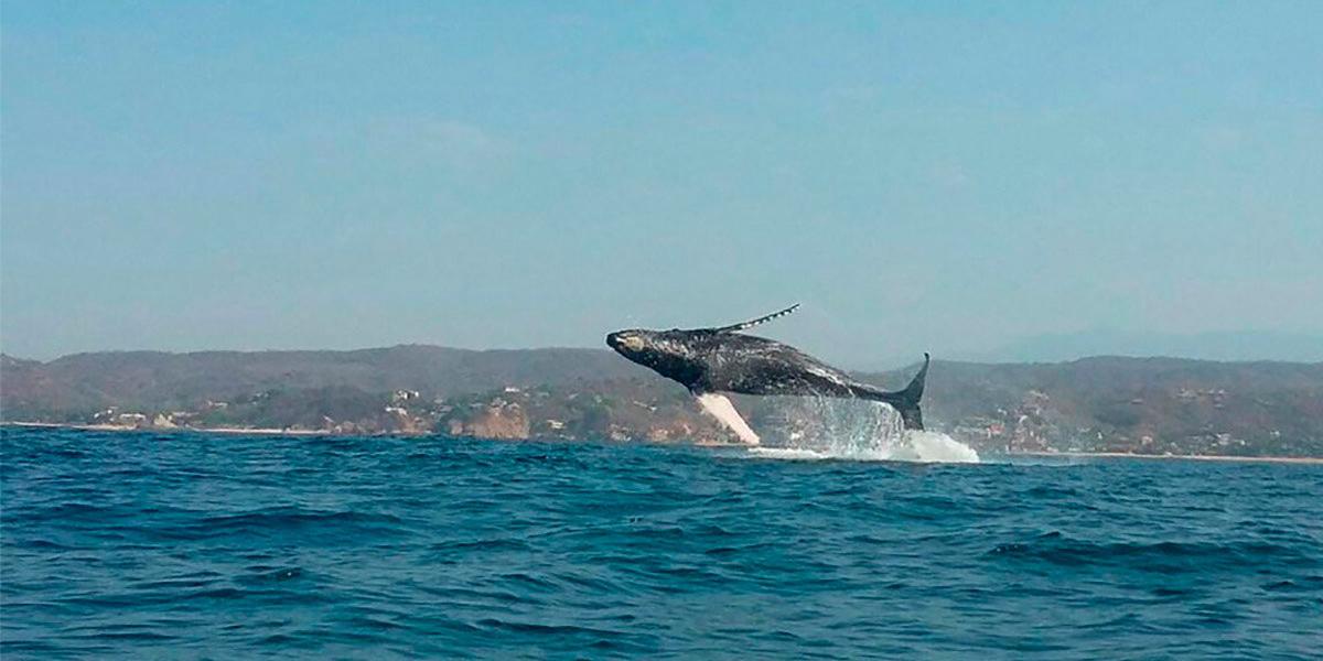 Costa oaxaqueña se prepara para llegada de las ballenas jorobadas | El Imparcial de Oaxaca