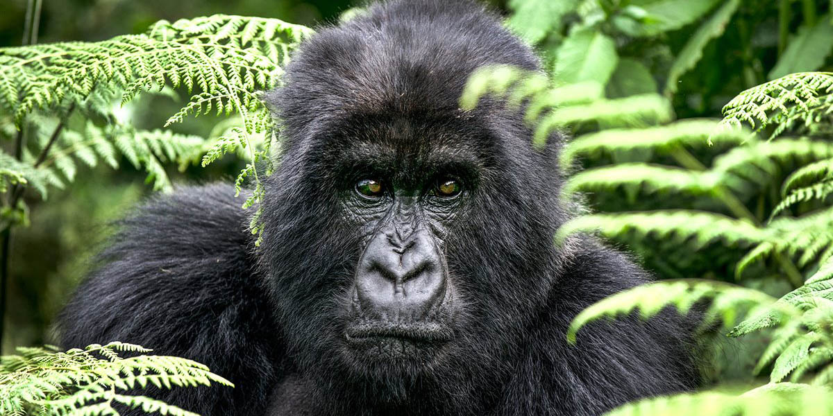 Muere famosa gorila del parque Virunga en República del Congo   El Imparcial de Oaxaca
