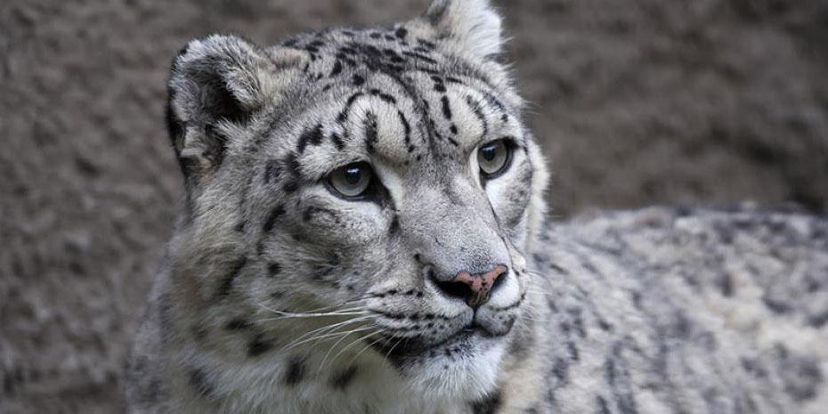 Muere leopardo en zoológico de Estados Unidos; presentaba síntomas de covid | El Imparcial de Oaxaca